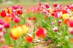 Gebied van de Tulpen van de Lente Stock Afbeelding