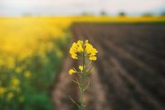 Gebied van de Verkrachting van het Oliezaad Concept landbouw Verkrachtingsgebied in bloesem stock fotografie