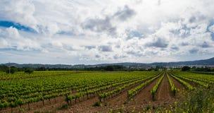 Gebied van de wijnstokken vroege lente in Catalonië Stock Afbeelding