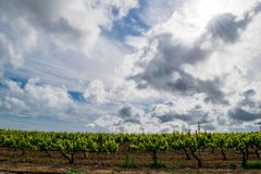 Gebied van de wijnstokken vroege lente in Catalonië Stock Afbeeldingen