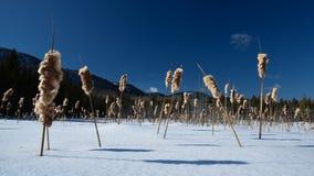 Gebied van de winter cattails tegen een berg en een diepe blauwe hemelachtergrond Royalty-vrije Stock Fotografie
