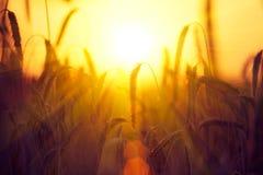 Gebied van droge gouden tarwe oogst royalty-vrije stock foto's