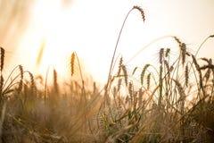 Gebied van droge wilde aren backlit met het plaatsen van zon Royalty-vrije Stock Afbeelding