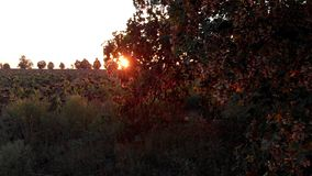Gebied van droge zonnebloem en een boom stock video