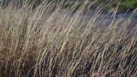 Gebied van droog gras stock video
