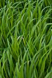 Gebied van een groen hoog gras Stock Afbeeldingen