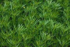 Gebied van een groen hoog gras van een alsem Royalty-vrije Stock Afbeelding