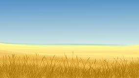 Gebied van geel gras tegen blauwe hemel. Stock Afbeeldingen