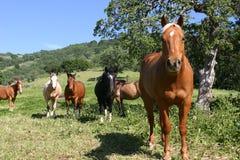 Gebied van gekleurde paarden Stock Afbeeldingen