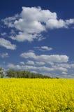 Gebied van gele bloeiende verkrachting Royalty-vrije Stock Afbeeldingen