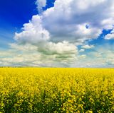 Gebied van gele bloemen Royalty-vrije Stock Afbeeldingen