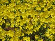Gebied van gele bloemen Stock Foto