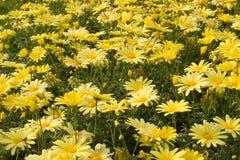 Gebied van gele bloemen Stock Afbeeldingen