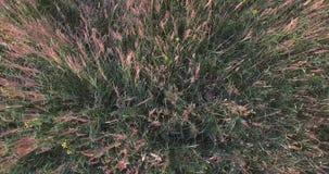 Gebied van gele bloemen De wind die het groene gras ritselen Roze bloesemsbloemen De mening vanaf de bovenkant stock footage