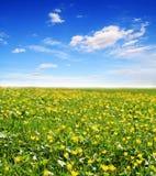 Gebied van gele bloemen en zonhemel Royalty-vrije Stock Foto