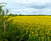 Gebied van gele canola met prikkeldraadomheining en bewolkte hemel royalty-vrije stock afbeelding