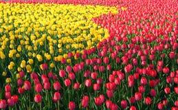 Gebied van gele en rode bloemen Stock Fotografie