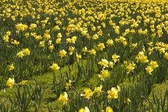 Gebied van gele narcissen Royalty-vrije Stock Foto's
