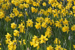 Gebied van Gele narcissen Stock Afbeelding