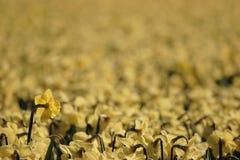 Gebied van gele narcissen Stock Afbeeldingen