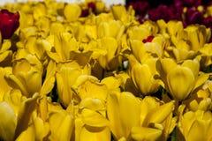 Gebied van gele tulpen Stock Afbeeldingen