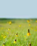 Gebied van gele wildflowers Royalty-vrije Stock Fotografie