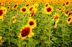 Gebied van gele zonnebloemen stock foto's