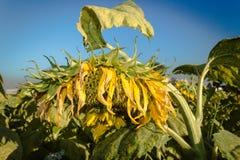 Gebied van gele zonnebloemen Stock Foto