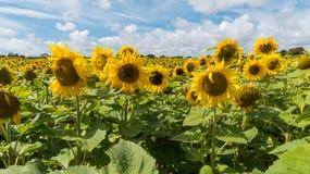 Gebied van gele zonnebloemen op zonnige dag met blauwe hemel en witte wolken Royalty-vrije Stock Afbeeldingen