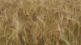 Gebied van Gerst Gele korrel klaar voor oogst het groeien op een landbouwbedrijfgebied stock footage