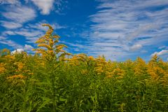 Gebied van goldenrod tegen een heldere blauwe hemel met witte wolken stock foto