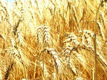 Gebied van gouden tarwe - II Royalty-vrije Stock Fotografie