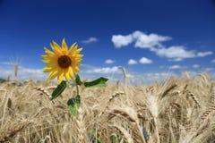 Gebied van gouden tarwe met eenzame zonnebloem Stock Afbeeldingen