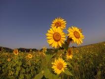 Gebied van gouden zonnebloemen Royalty-vrije Stock Foto's
