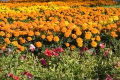 Gebied van goudsbloemen Stock Foto