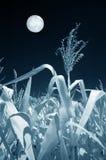 Gebied van Graan in het Maanlicht Stock Foto