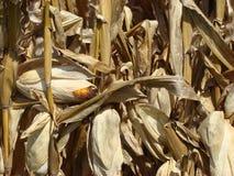 gebied van graan klaar te oogsten Stock Afbeelding