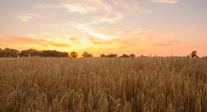 Gebied van graan klaar voor oogst bij zonsondergang Stock Fotografie