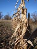 Gebied van graan tijdens droogte wordt beschadigd die royalty-vrije stock foto's