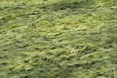 Gebied van gras in de wind Stock Foto's