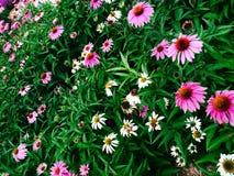 Gebied van gras en kleurrijke bloemen Stock Fotografie