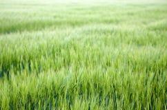 Gebied van gras met korte diepte van gebied stock afbeelding