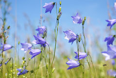 Gebied van grasklokje in de lente stock afbeelding