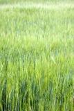 Gebied van groen gras met korte dof stock foto