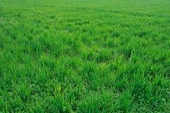 Gebied van groen tarwegebied Stock Afbeeldingen