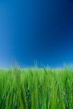 gebied van groene gerst/blauwe hemel Stock Afbeeldingen