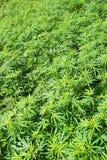Gebied van groene marihuana (hennep) Royalty-vrije Stock Afbeeldingen