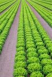 Gebied van groene sla in een intensief plantaardig cultuurverstand stock afbeeldingen