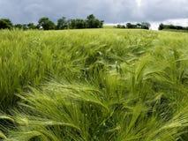 Gebied van groene tarwe in de lente Stock Afbeeldingen