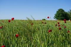 Gebied van groene tarwe en rode papavers onder de zon royalty-vrije stock afbeeldingen